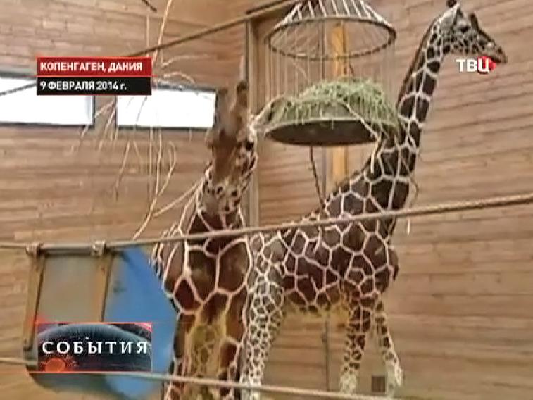 Жирафы в вольере датского зоопарка