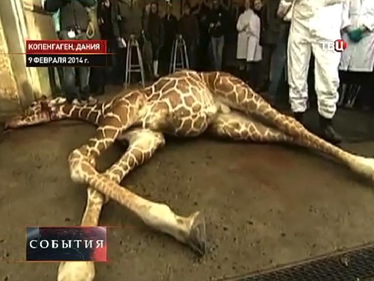 Служащие датского зоопарка убили жирафа Мариуса Первого