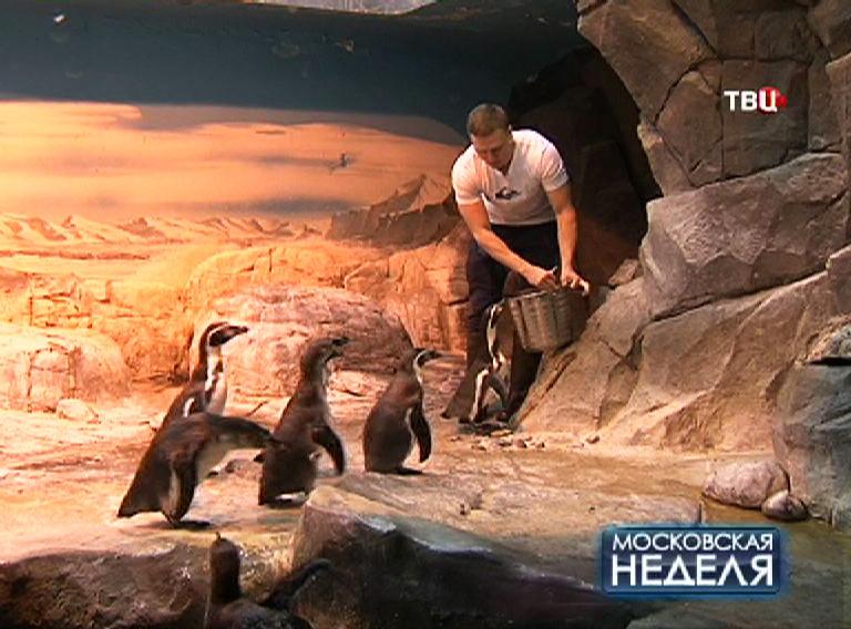 Зоолог кормит пингвинов в зоопарке