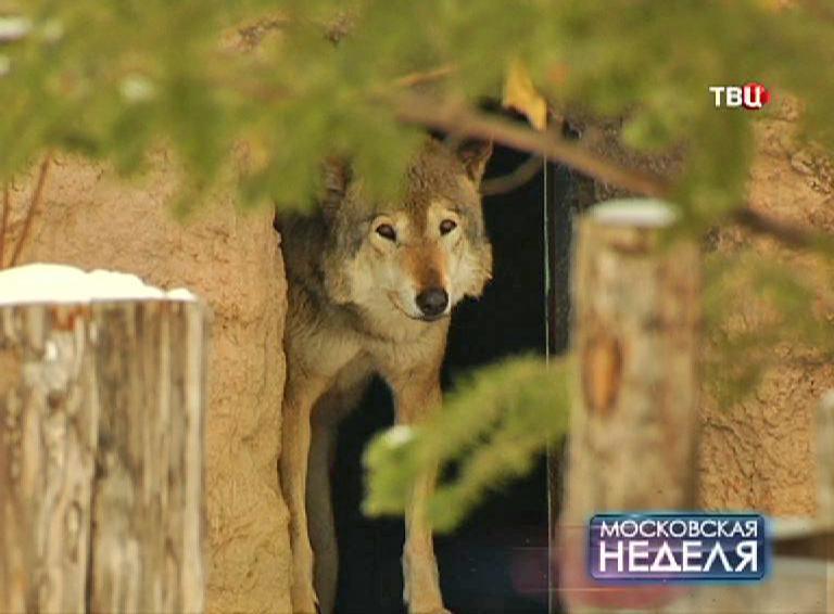 Волк в зоопарке