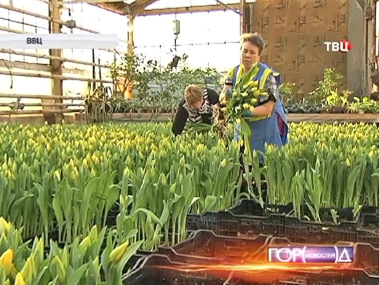 Садовод собирает тюльпаны
