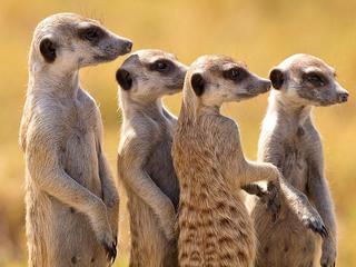 Сурикаты: большая жизнь маленьких существ. 5-я и 6-я серии