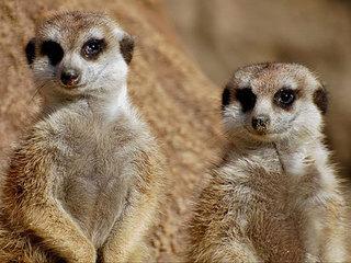 Сурикаты: большая жизнь маленьких существ. 2-я серия