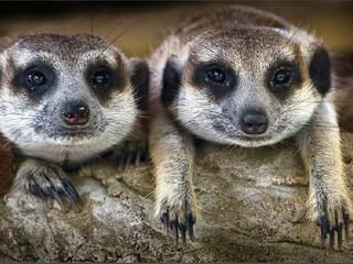 Сурикаты: большая жизнь маленьких существ. 1-я серия. Серия 1